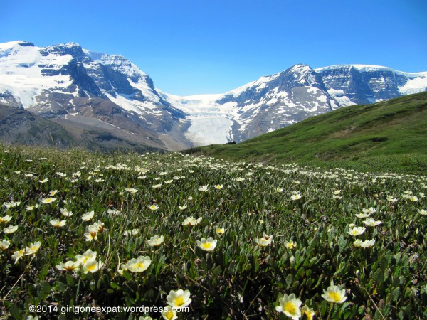 View of glacier and flowers from Wilcox Pass