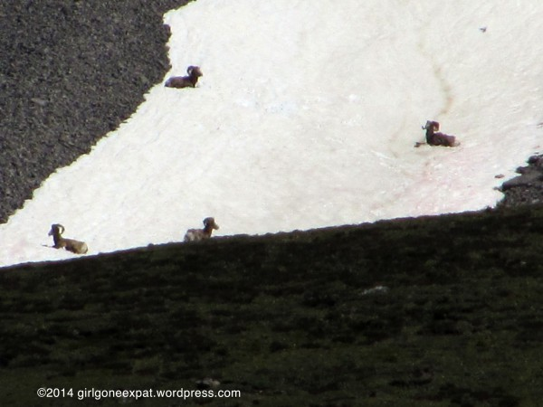 Wildlife on snow in Rocky Mountains
