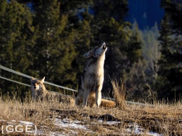 Coyotes Jasper Village