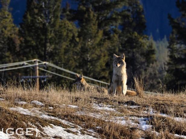 Coyotes Jasper