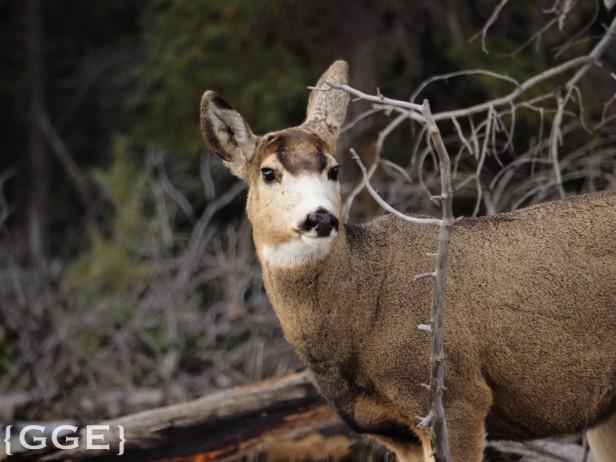 Mule Deer Jasper