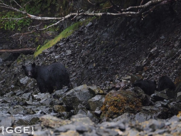 Black bear eating salmon Alaska