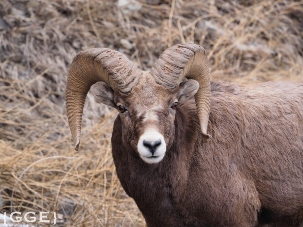 Rocky Mountain Big Horn Sheep