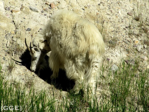 Mountain Goats Icefields Parkway