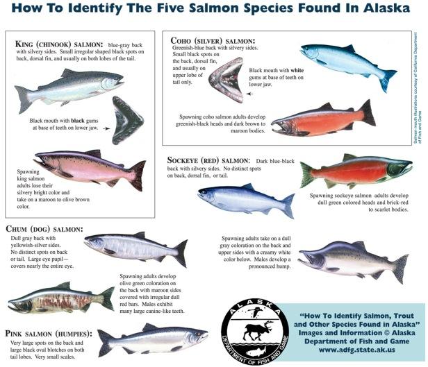 salmon species
