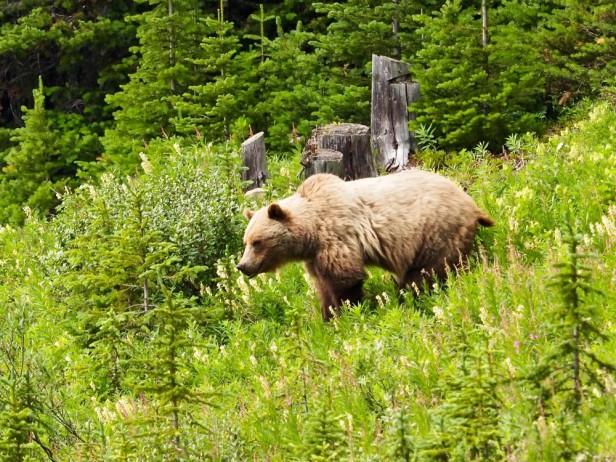 Grizzly Bear Kananaskis Canada