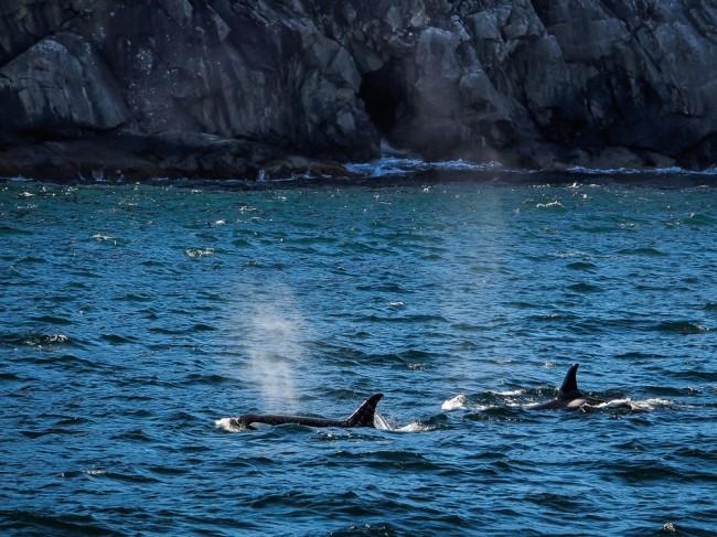 Killer Whales Seward Alaska