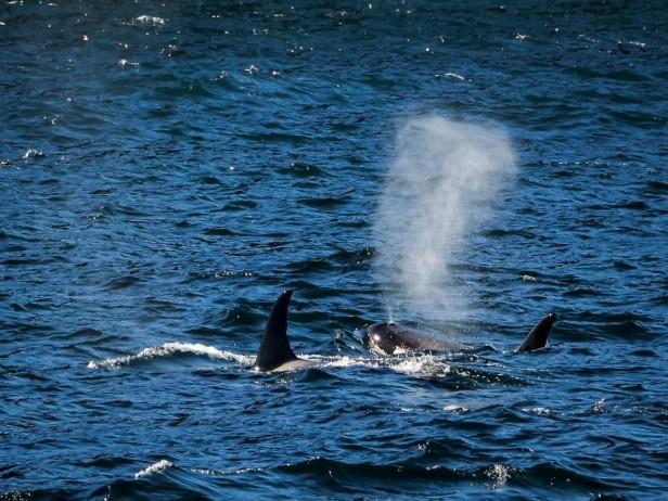 Killer Whales Orca Seward Alaska