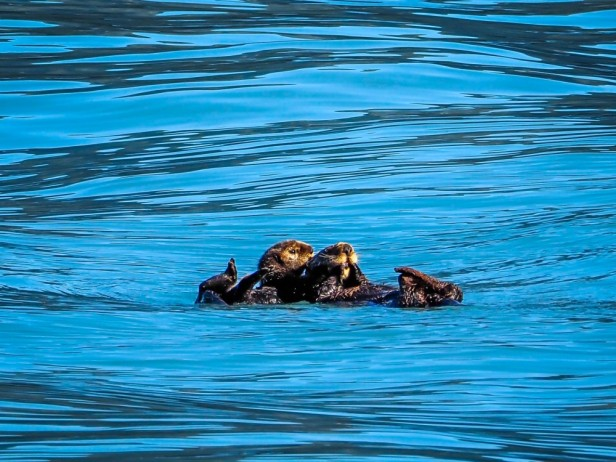 Sea otters Seward Alaska