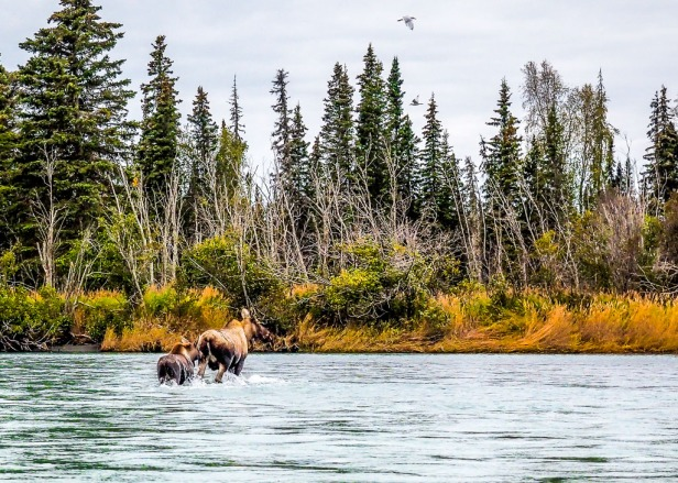 Silver Salmon Fishing Kenai River