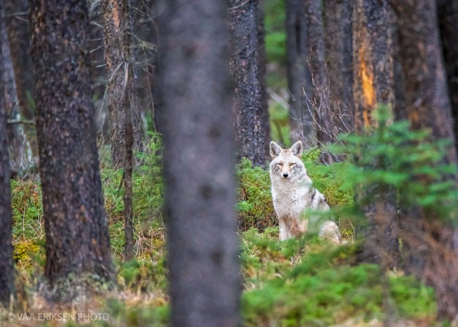 Coyote Banff National Park