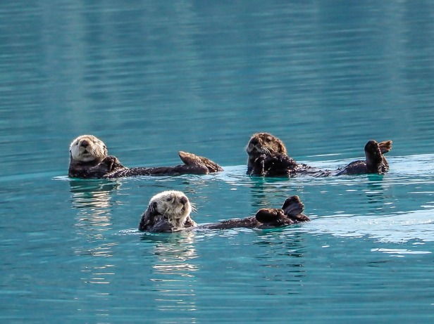 Alaska Sea Otters