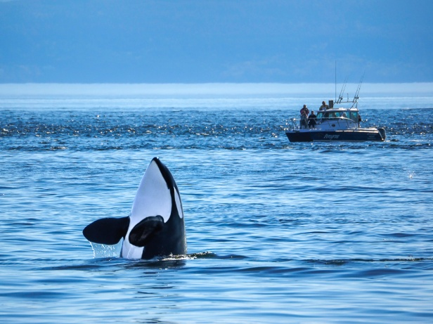 Orca Killer Whale North Pacific