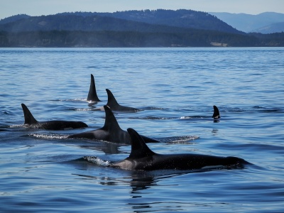 Orca Killer Whale North Pacific
