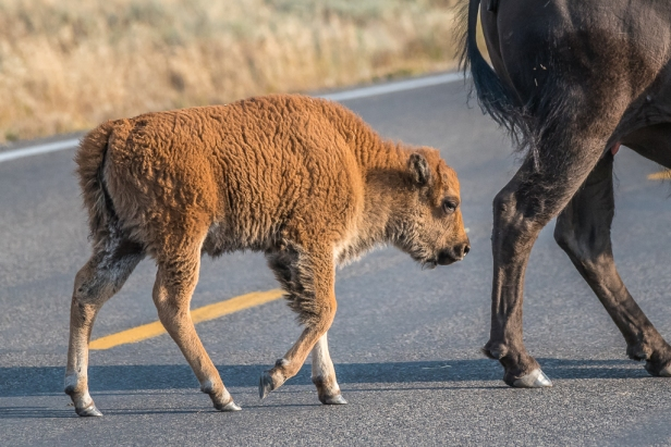Rust coloured baby bison and mama