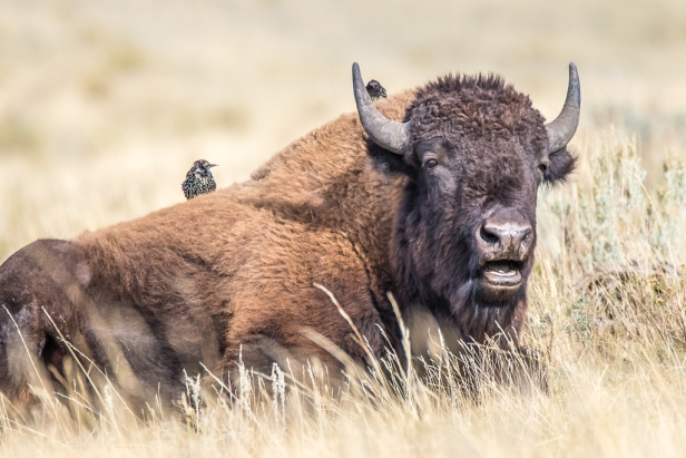 Bison with two birds on the back