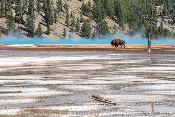 Bison crosses thermal feature
