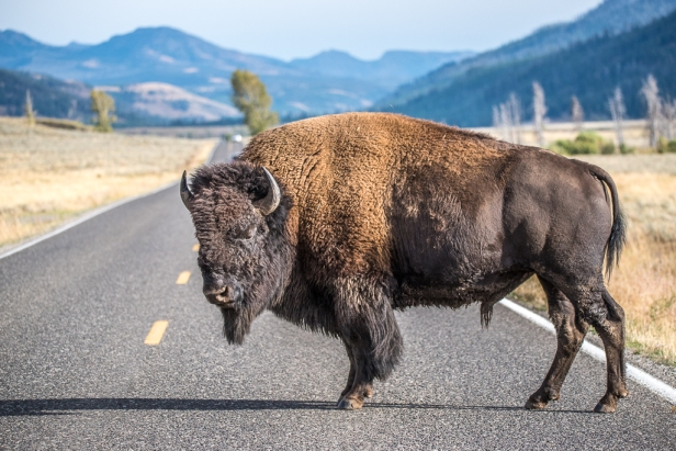 Bison blocking road in Yellowstone