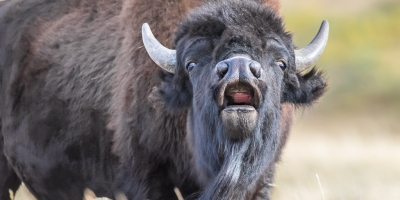 Bison roaring directly at camera