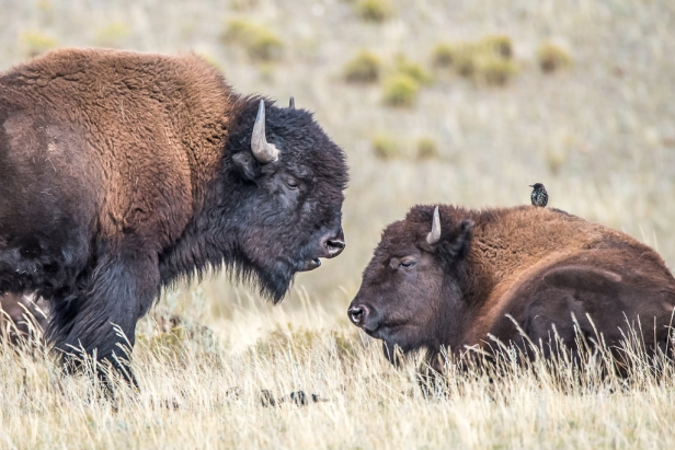 Two bison looking at each other