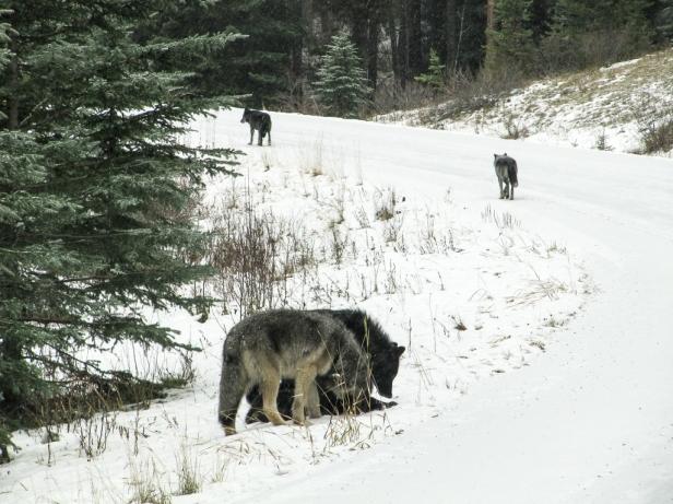 Wolves Banff National Park