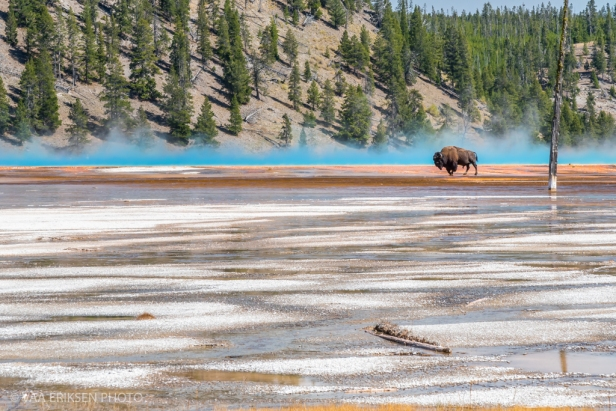 Yellowstone Bison walking on thermal feature