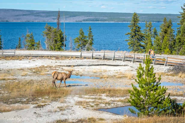 Elk walking on hot spring