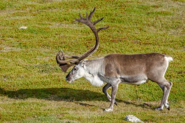 reindeer-finnmark-1-of-1