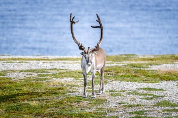 Arctic Reindeer Reinsdyr