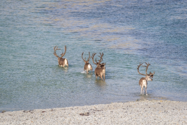 Finnmark reindeer crossing water