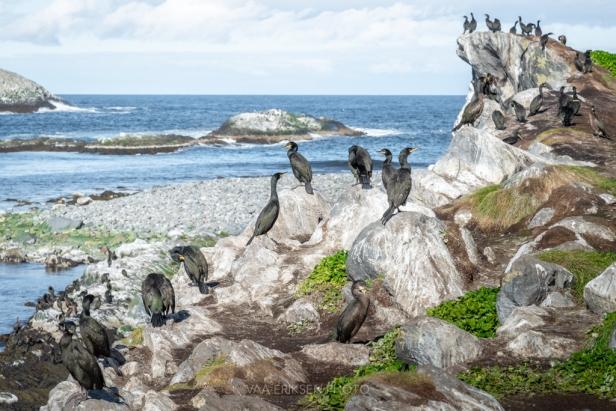 Hornøya, Cormorants, Birds, Varanger, Vadsø, Norway